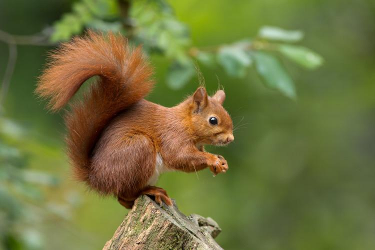Red Squirrel at Kielder Forest